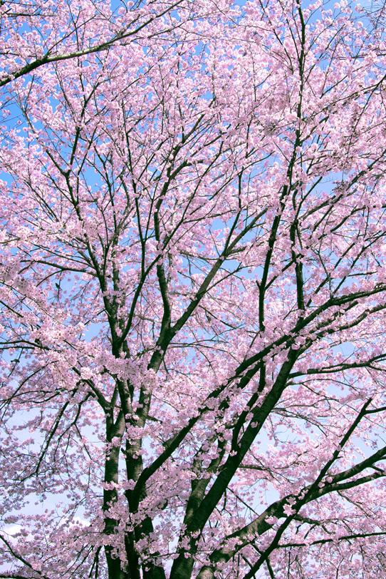 桜の景色の写真画像