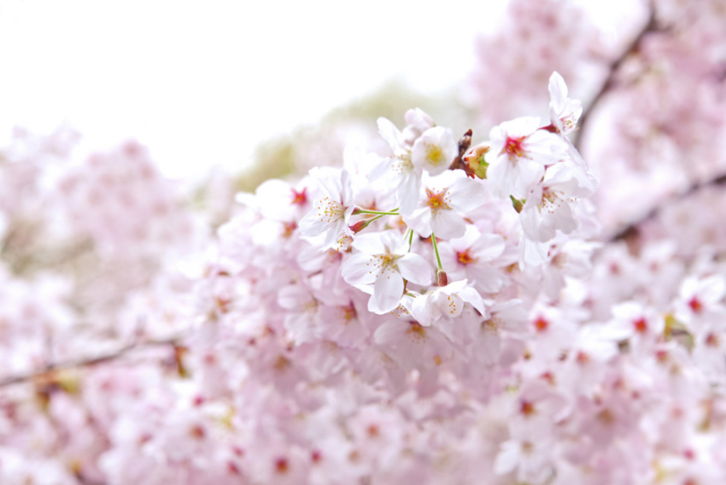 サクラの花の写真画像