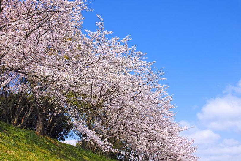春のサクラの写真画像