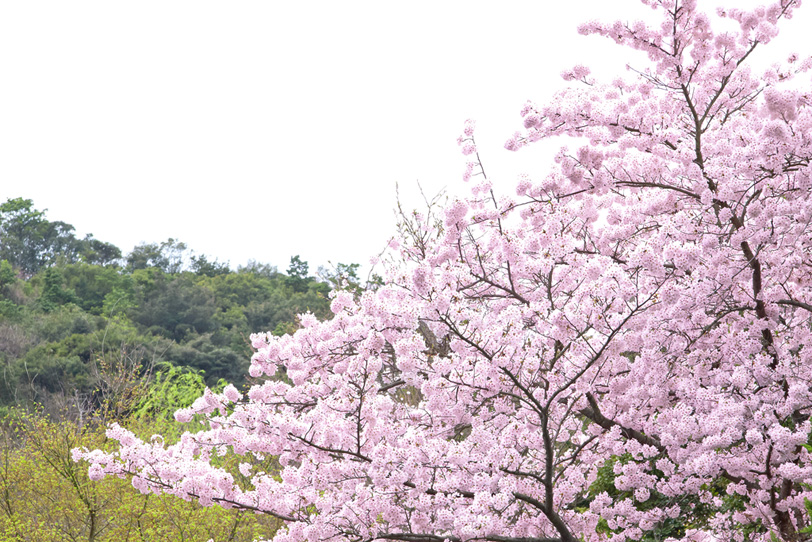 日本の桜の写真画像