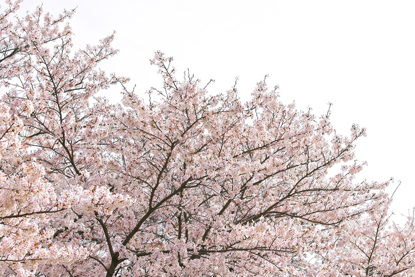 桜 白背景の写真画像