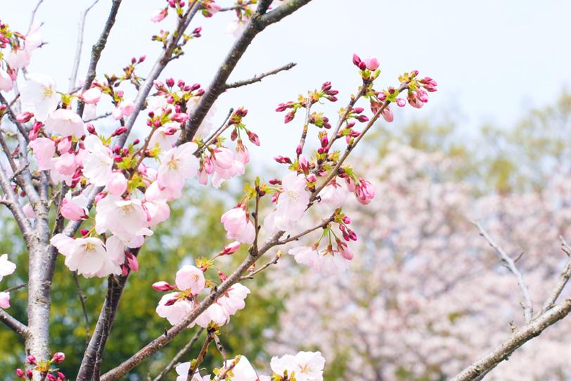 桜の花と枝の写真画像