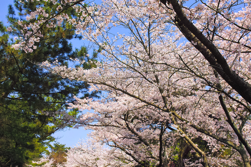 日本の春の桜の写真画像