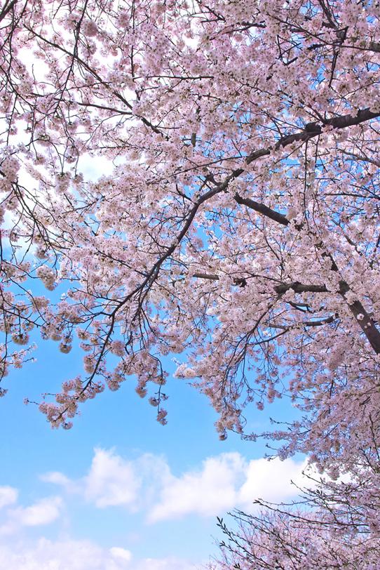 和風の桜風景の写真画像