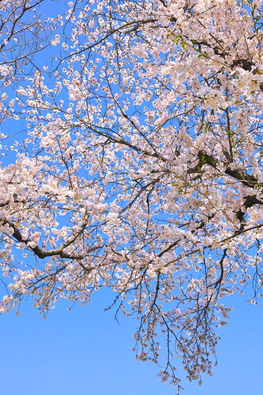 春の青空とサクラの木の写真画像