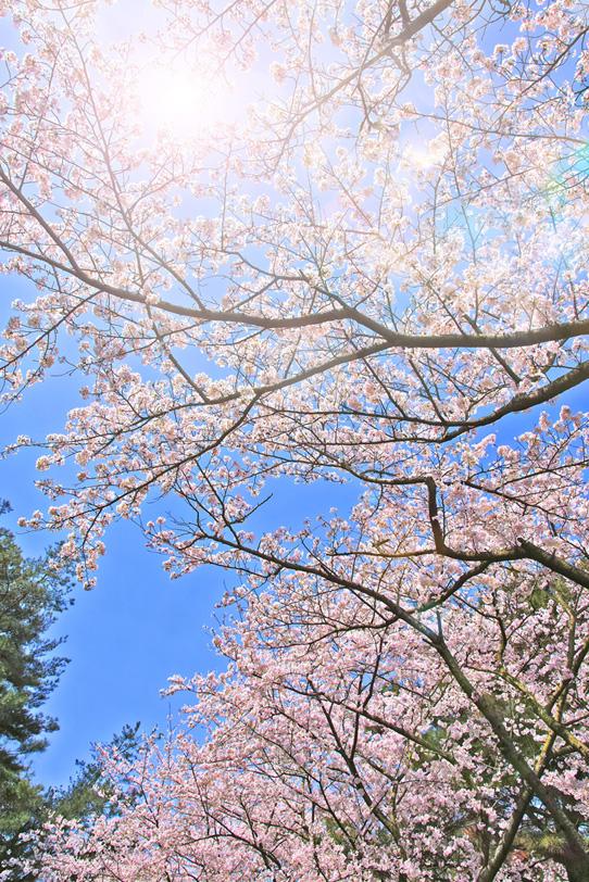 サクラ並木と春空の写真画像