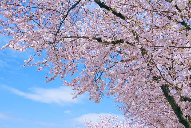 桜の花咲く木々の写真画像