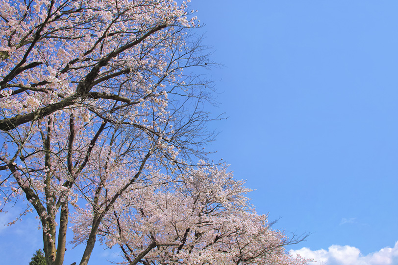 春のさくら風景の写真画像