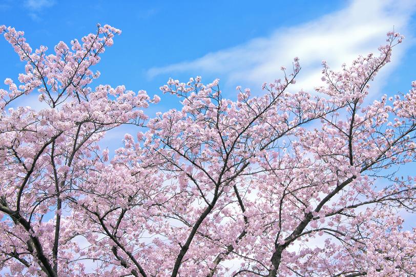 サクラと青空の景色の写真画像