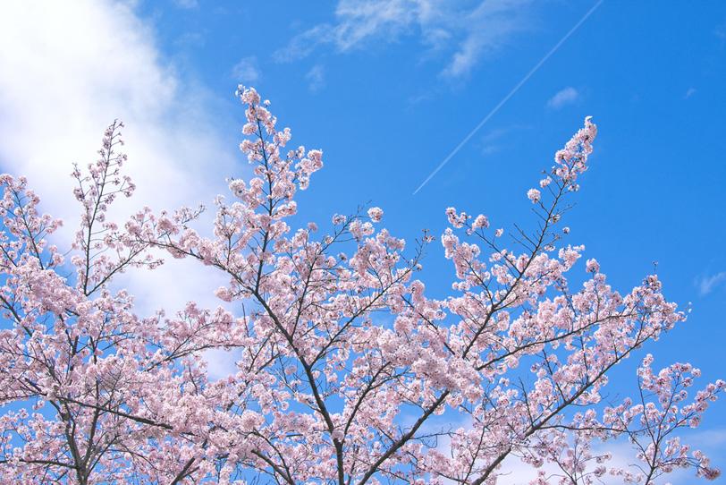 さくらの花咲く木と青空の写真画像