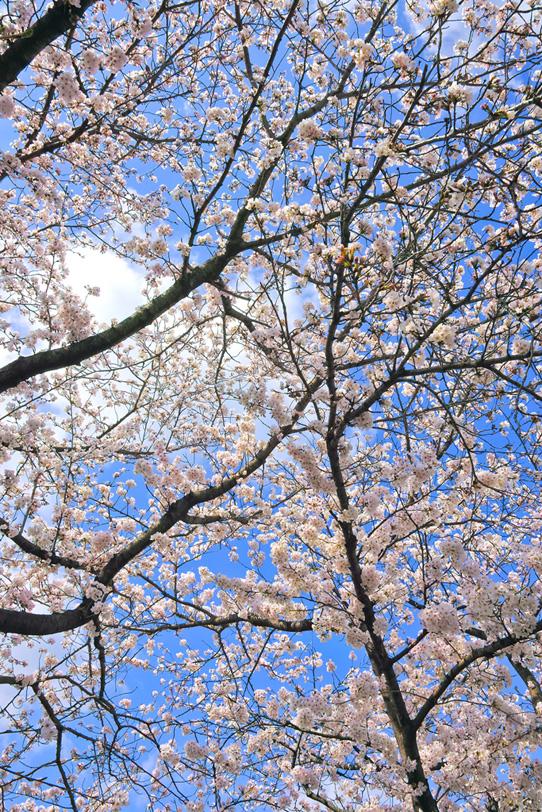桜の花開く春の風景の写真画像