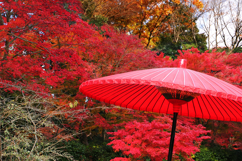紅葉と野点傘の写真画像