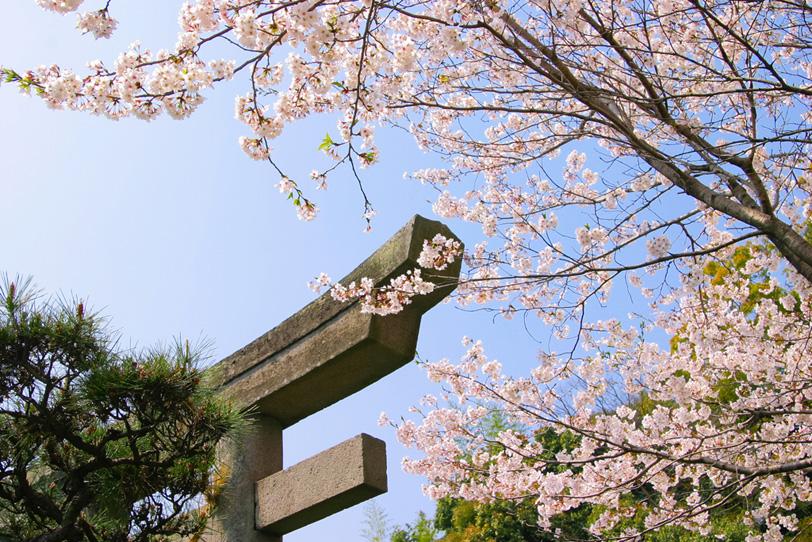 鳥居と松と桜の写真画像