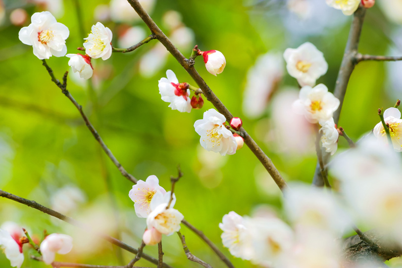 梅と緑の和風素材の写真画像