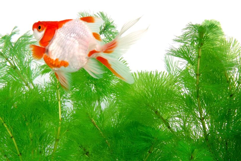 赤白の柄の金魚が泳ぐ背景の写真画像