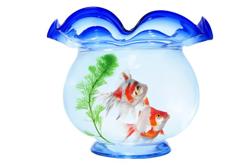 金魚鉢と二匹の金魚の写真画像