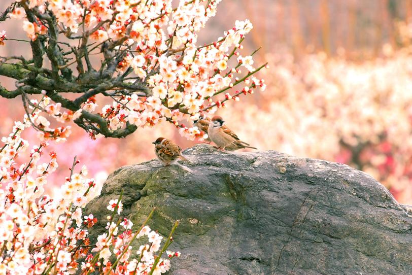 梅林とスズメの和風風景の写真画像
