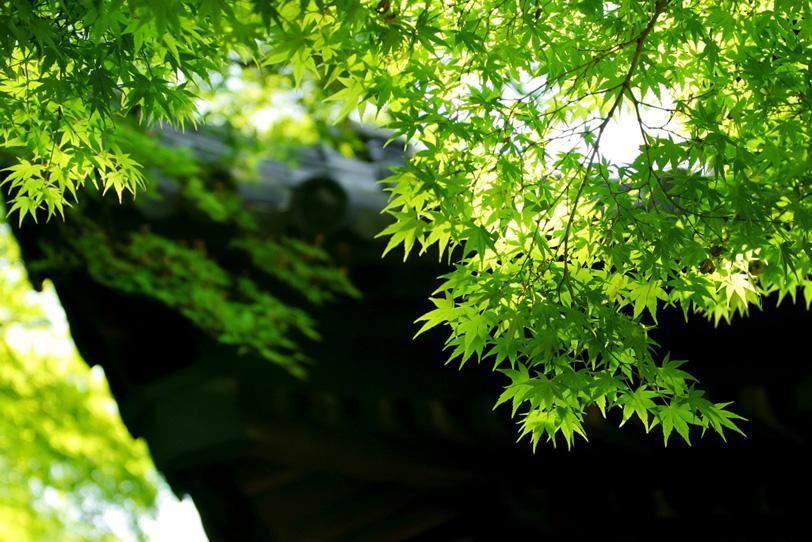 新緑の日本寺院の写真画像