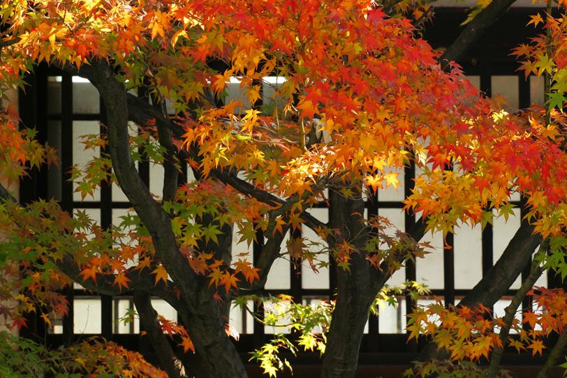 黄葉と格子窓の和風背景の写真画像
