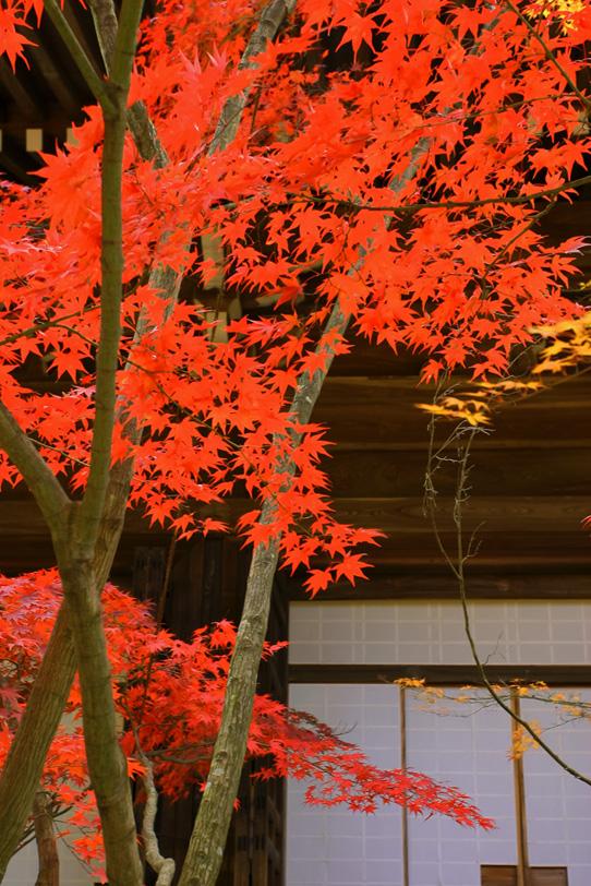 赤い紅葉と障子の写真画像