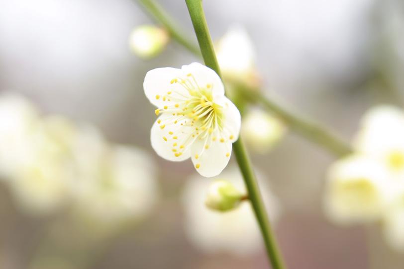 着物柄のような白い梅の写真画像