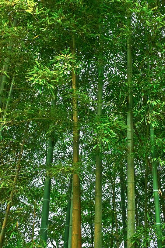 青竹の和風素材の写真画像