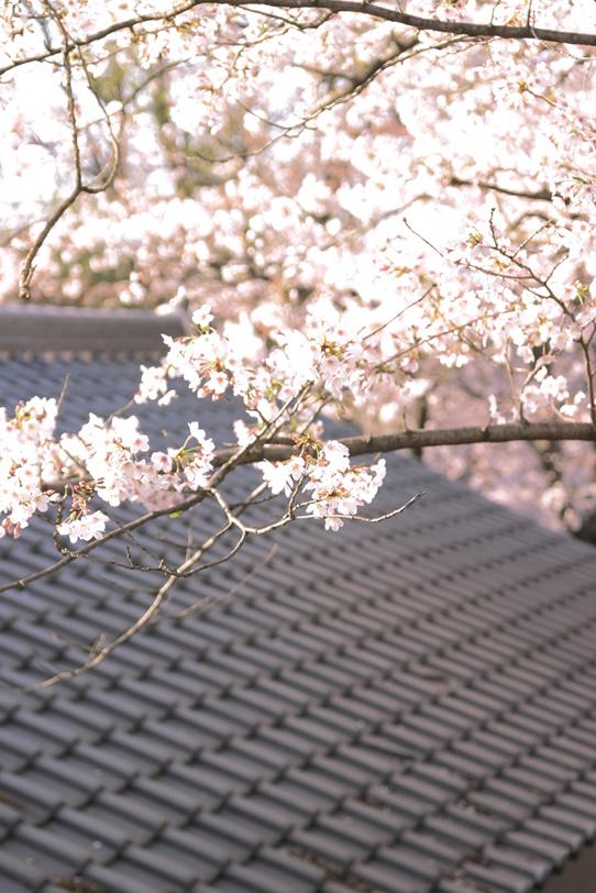 瓦と桜の和風景色の写真画像