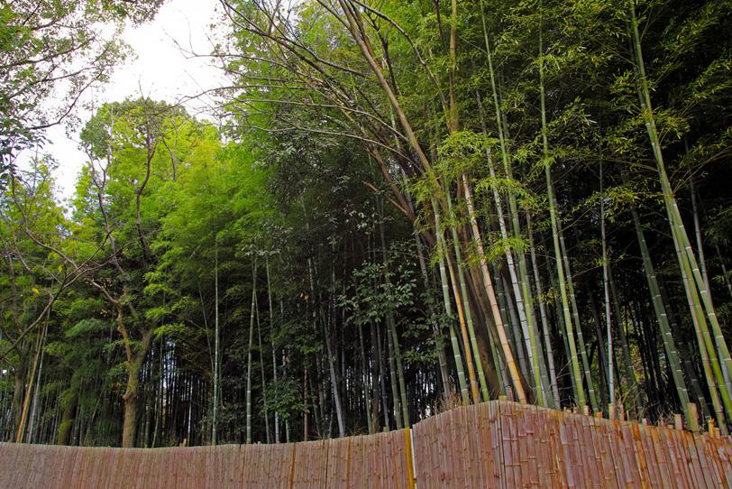 青竹が伸びる竹林と竹垣の写真画像