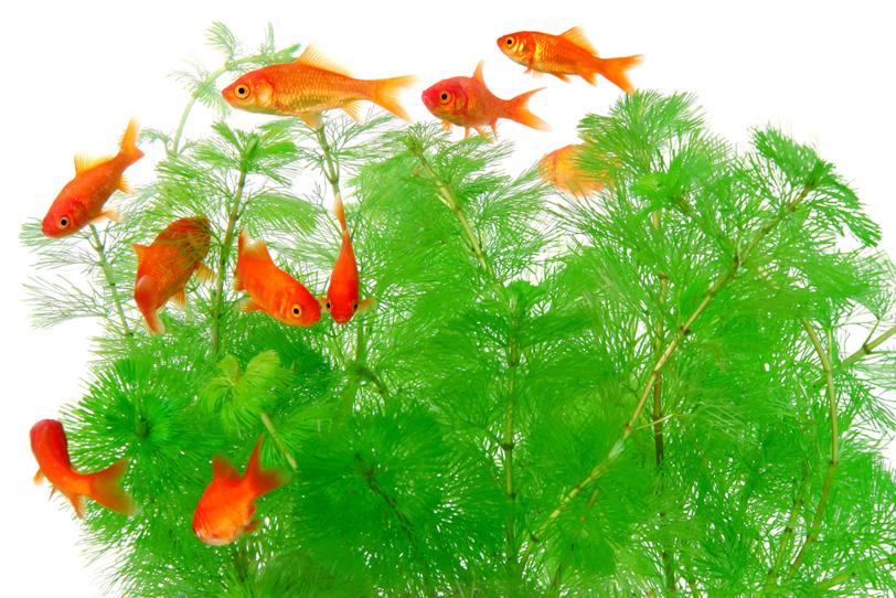 小赤金魚の群れと白背景の写真画像