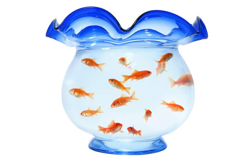 沢山の小赤が泳ぐ金魚鉢の写真画像