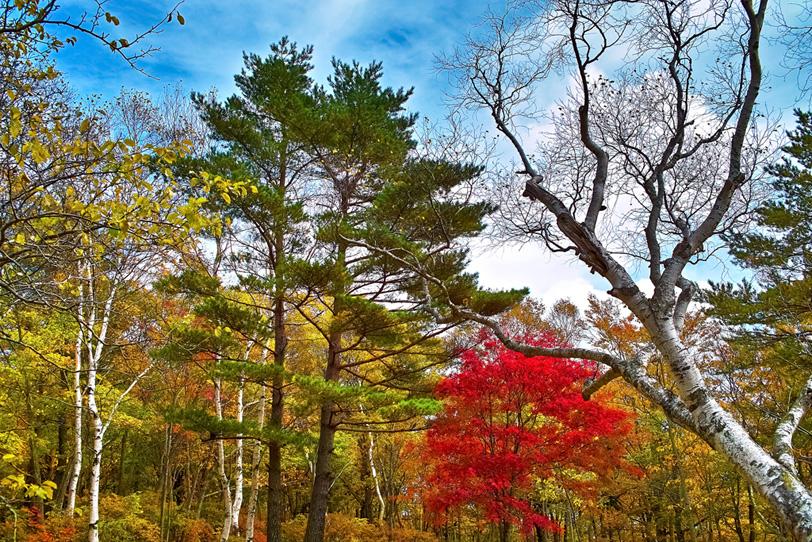 黄色い林の中の一本の紅葉した木の写真画像