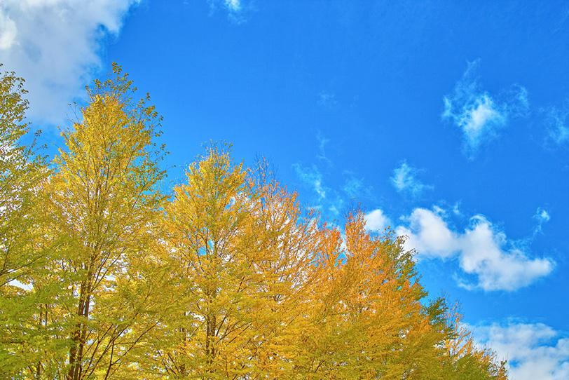 黄色い銀杏並木と青空の写真画像