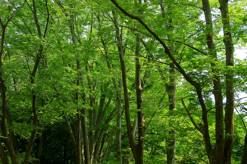 新緑のトンネルが続く林の写真画像