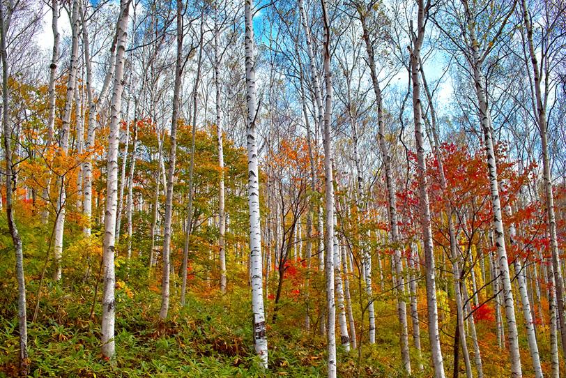 白樺の林に訪れる秋の写真画像