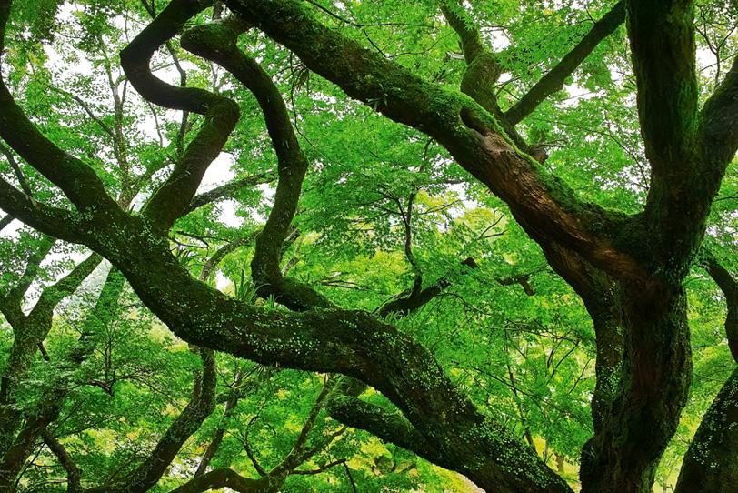 苔を纏う大きな幹の木の写真画像