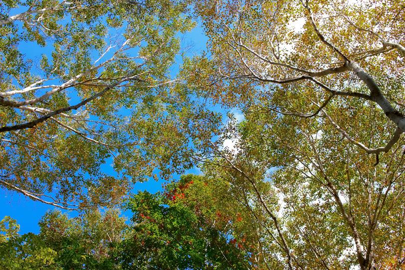 見上げる秋の木立の写真画像