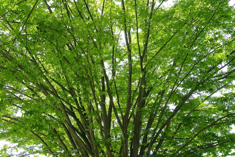 沢山の細い幹が上に伸びている樹木の写真画像