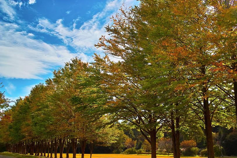 並木続く秋の公園の写真画像