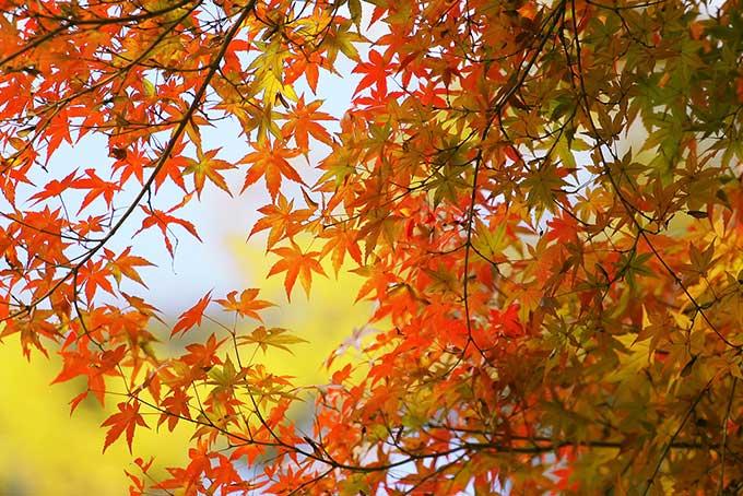 赤く染まり始めるモミジの葉のテクスチャ(紅葉 フリーの画像)