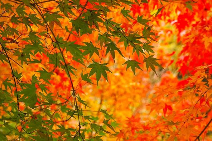 美しい青葉と紅葉の秋背景(紅葉 フリーの画像)