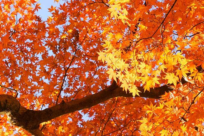 鮮やかに黄葉する初秋の風景(紅葉 フリーの画像)