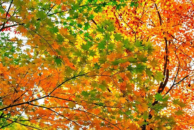 赤黄緑のモミジの葉群れの写真