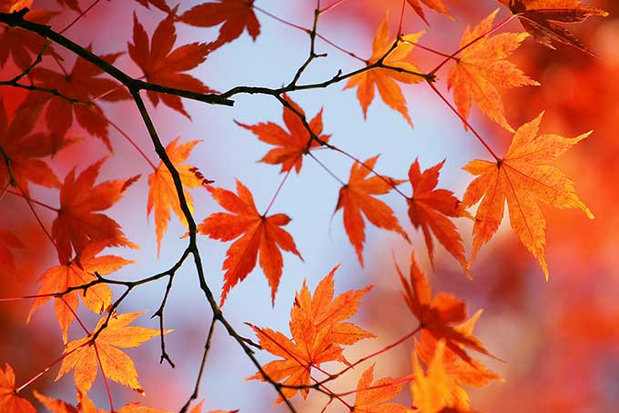 枝先に色づく朱色の木の葉の画像