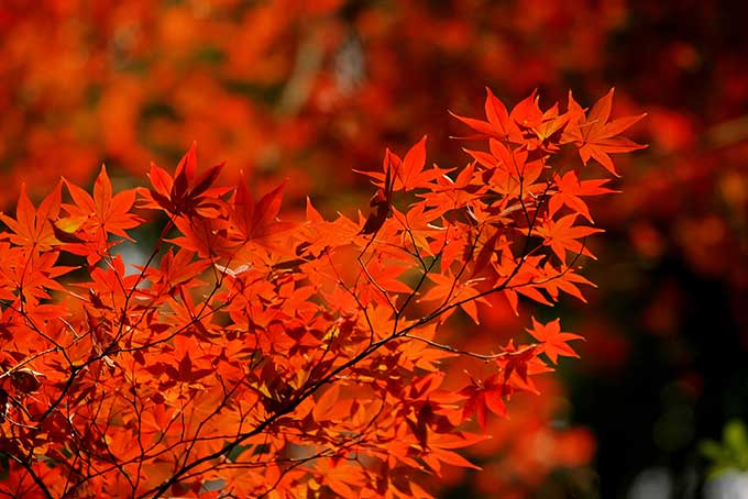 赤く紅葉する無数の葉の写真
