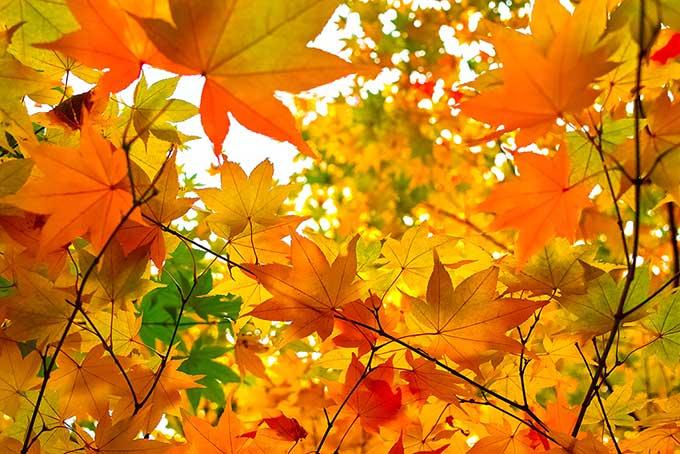 秋色に染まる楓の葉のテクスチャ