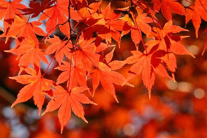 赤く紅葉するイロハモミジの素材(紅葉 フリーの画像)
