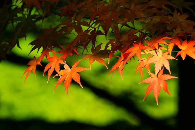 オレンジ色の葉と緑の背景(紅葉 フリーの画像)