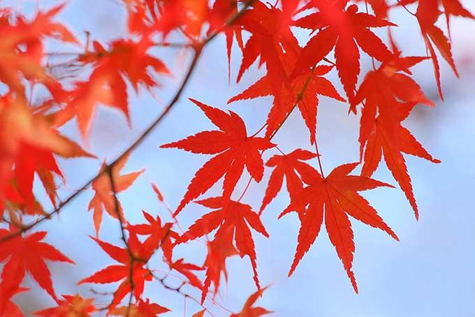 真っ赤なモミジの葉と秋の青空の風景(紅葉 フリーの画像)