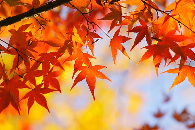 紅葉と黄葉のコラボレーション画像(紅葉 フリーの画像)