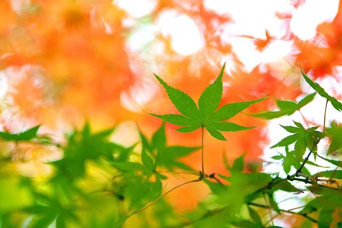 緑の葉残す秋の訪れの背景(紅葉 フリーの画像)
